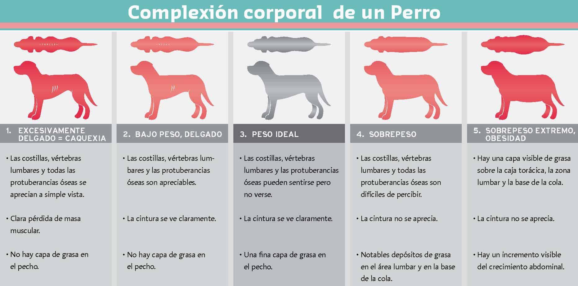 complexión corporal de un perro