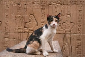 datos curiosos sobre los gatos. Gato doméstico egipcio